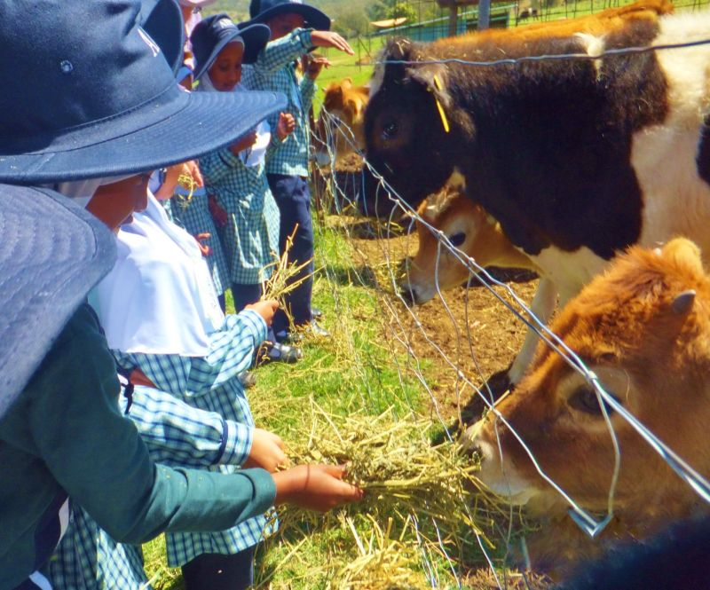 AIIC kids feeding Calves